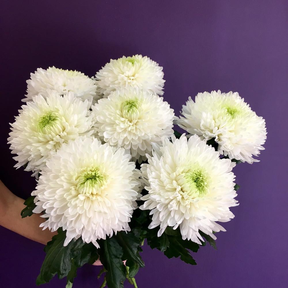 Хризантема сорт вайт букет, букет живых цветов