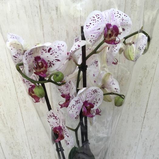 Орхидея крапинка