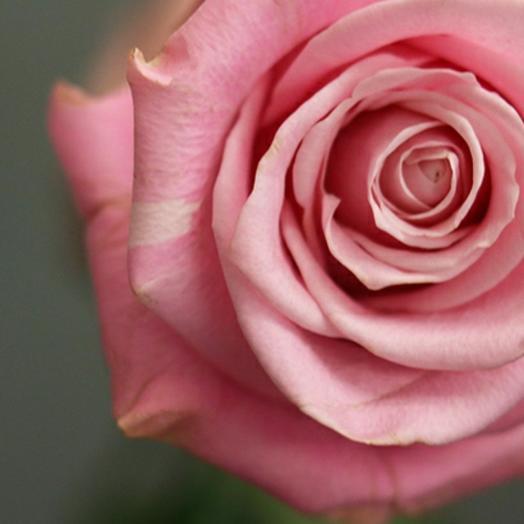 Роза Эквадор Shy