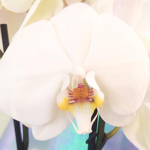 Белоснежная орхидея в кашпо