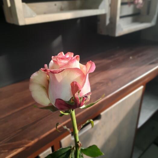 Роза Эквадор Палома