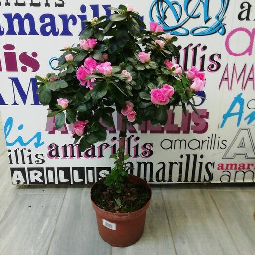 Комнатное растение Азалия на штамбе