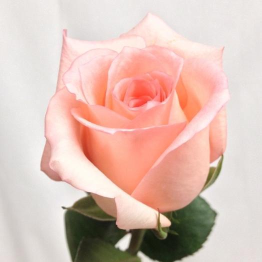 Роза Эквадор Ангажимент