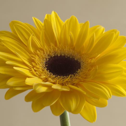 Жёлтая гербера