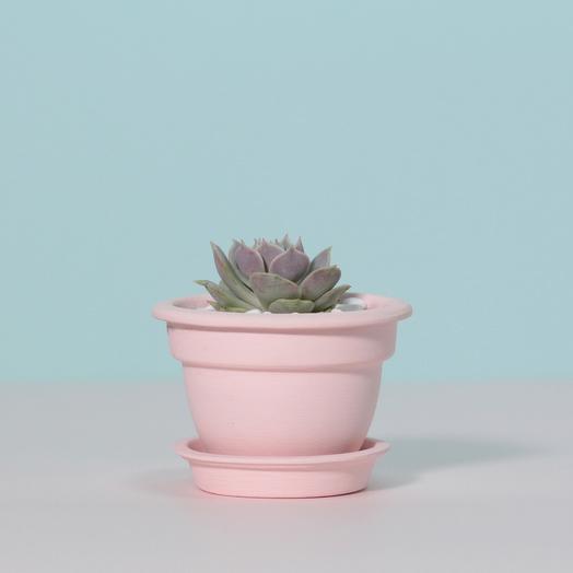 Суккулент в розовом горшке