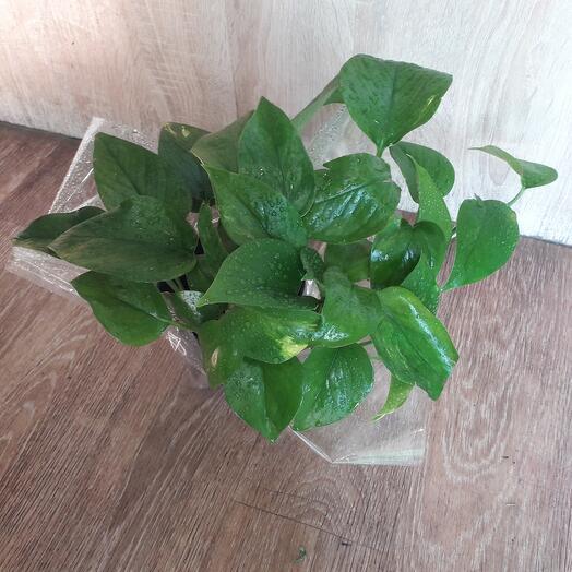 Комнатное растение Эпипремнум