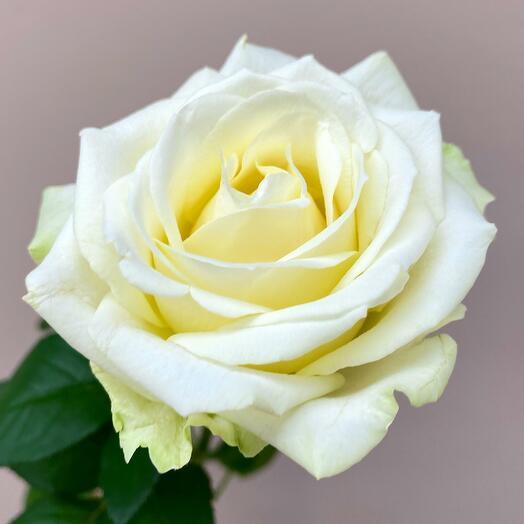 Нежнейшая белая Роза