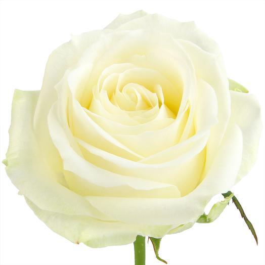 Роза подмосковная Аваланш 60 см