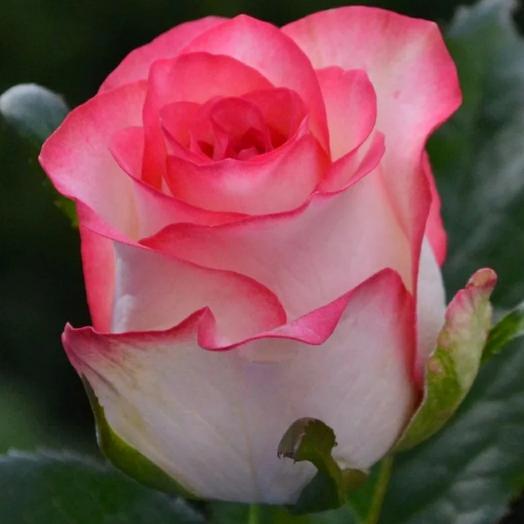 "Роза "" джамиля"""