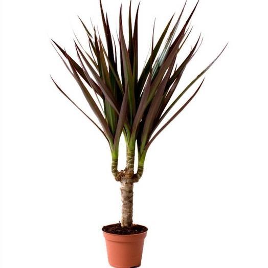 """Комнатное растение """"Драцена magenta"""""""