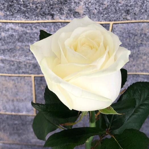 Роза аваланж  60  см