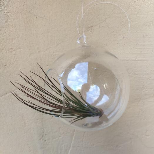 Тилландсия атмосферная в стеклянном флорариуме