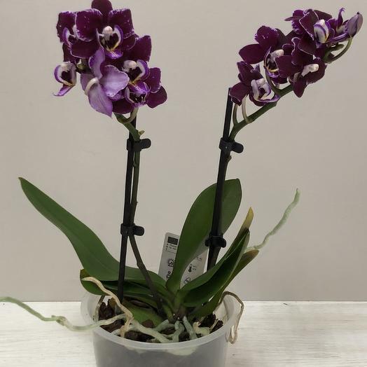 Орхидея в горшке: букеты цветов на заказ Flowwow