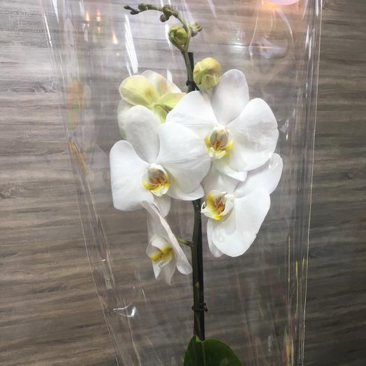 ✅ Орхидея Белая