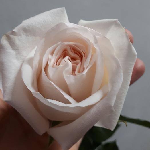 "Роза ""Вайт Охара"""
