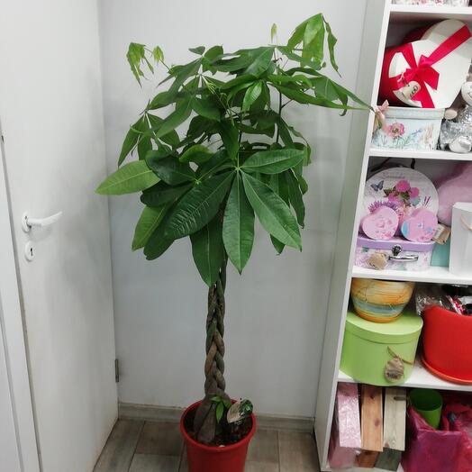 Комнатное растение Пахира Аглаонема