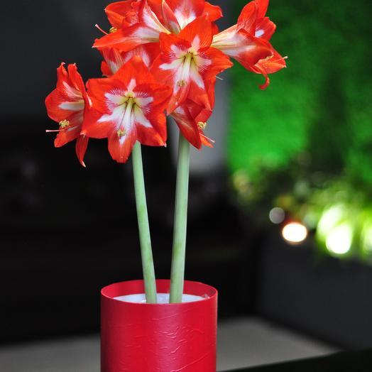 Аммарилис: букеты цветов на заказ Flowwow