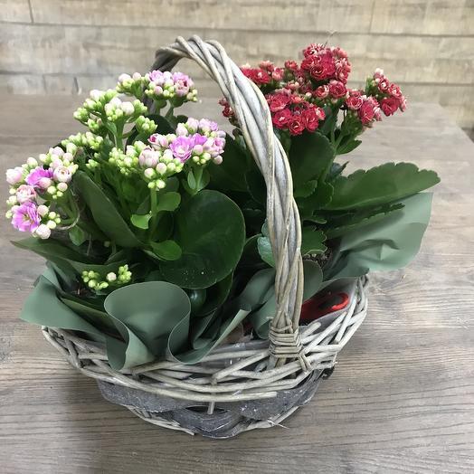 Каланхоэ 2 шт: букеты цветов на заказ Flowwow