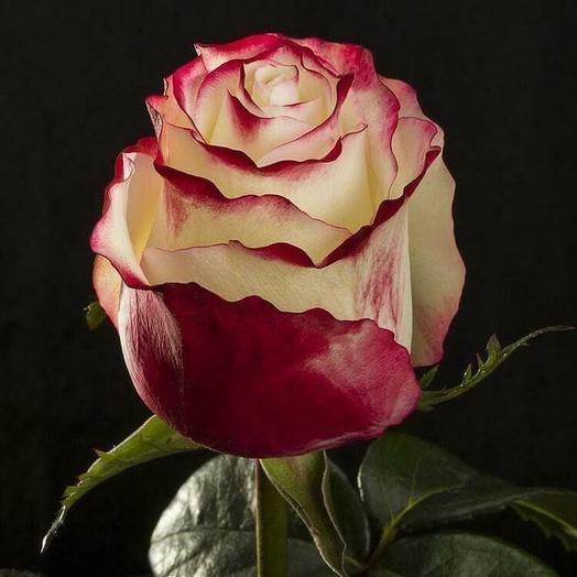 Роза Эквадор Свитнесс