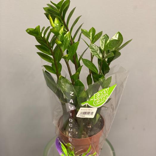 Комнатное растение Замиокулькас (Долларовое дерево) 45 см