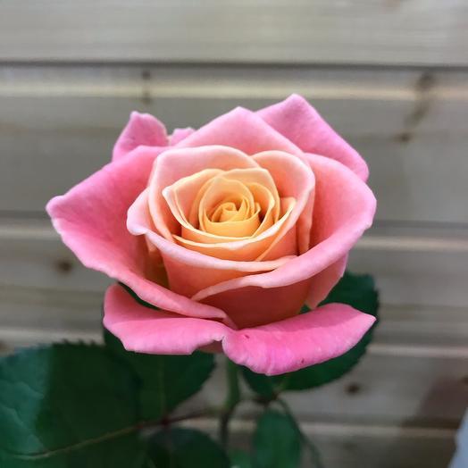 Роза «Мисс Пигги» 50см