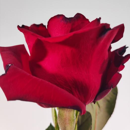 Красные розы 50 см(коробка конфет в подарок, условие в описании)