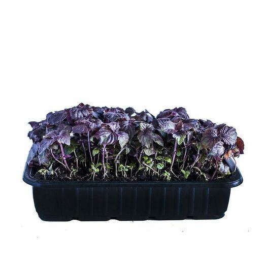 Шисо в земле 60 гр микрозелень