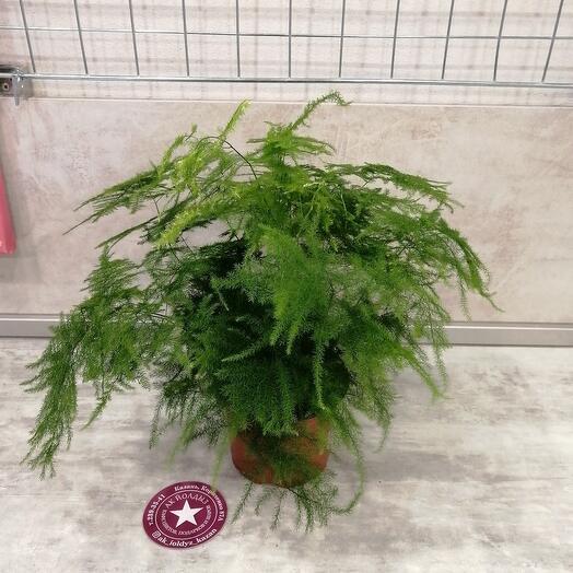 Комнатное растение аспорагус
