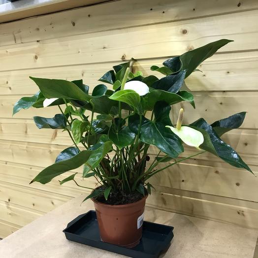 Комнатное растение (Антуриум)