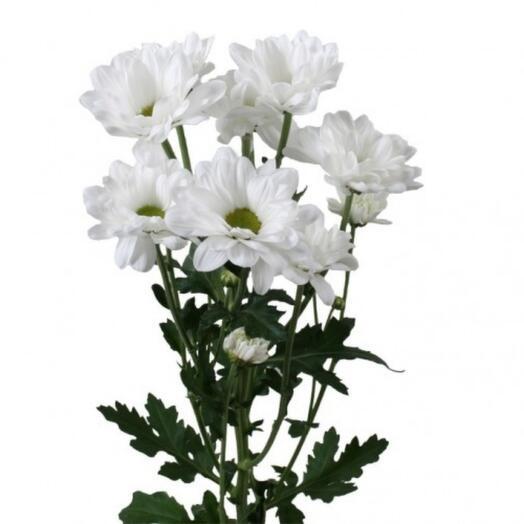Хризантема Чик
