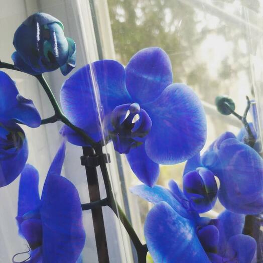 Эксклюзив, Фаленопсис синего цвета, 2 цветоноса
