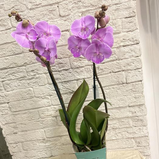 Орхидея в коллекцию: букеты цветов на заказ Flowwow