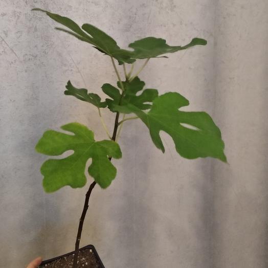 Комнатное растение Инжир
