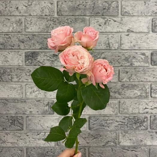 Роза кустовая пионовидная Madam Bombastic
