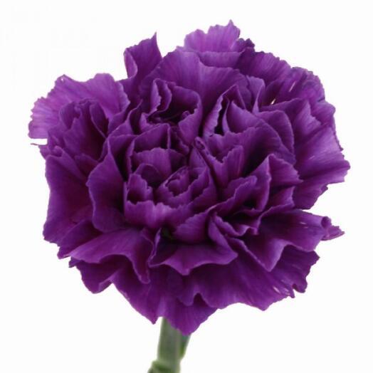 Гвоздика фиолетовая 9 мая День Победы