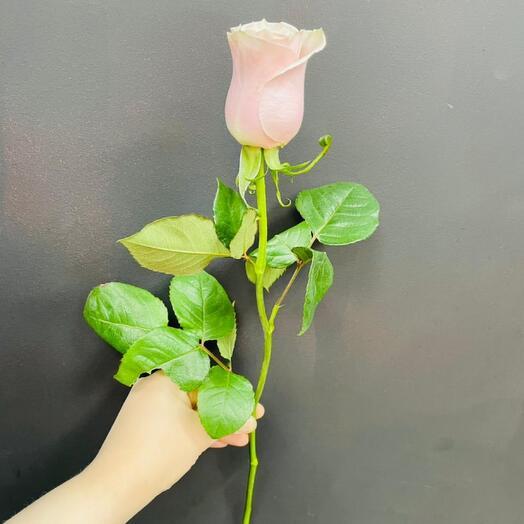 Роза Pink Mondial 50 см Эквадор