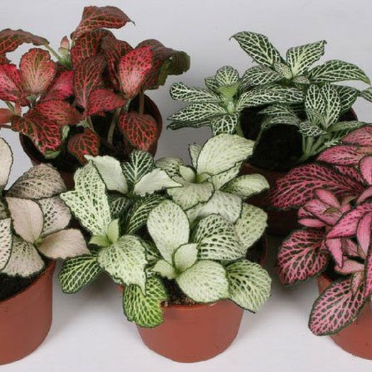 Фиттония : букеты цветов на заказ Flowwow