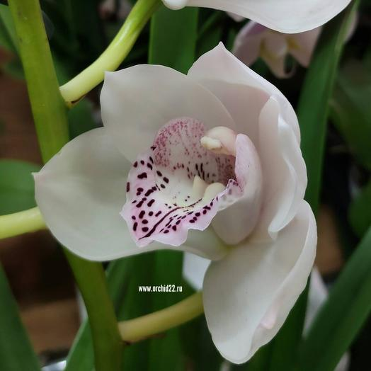 Орхидея (1 цветок)