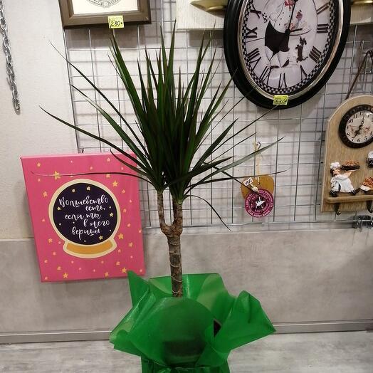 Комнатное растение драцена маргината