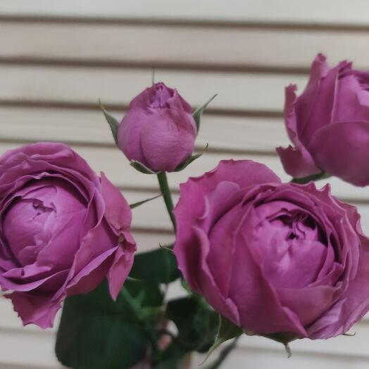 Кустовая роза Мисти 40 см