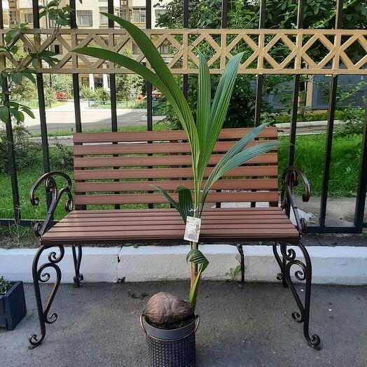 Пальма кокосовая (кокос) 140см