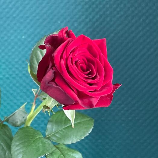 Роза Россия 70см