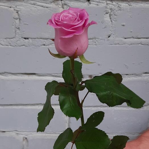 Лавандовая роза