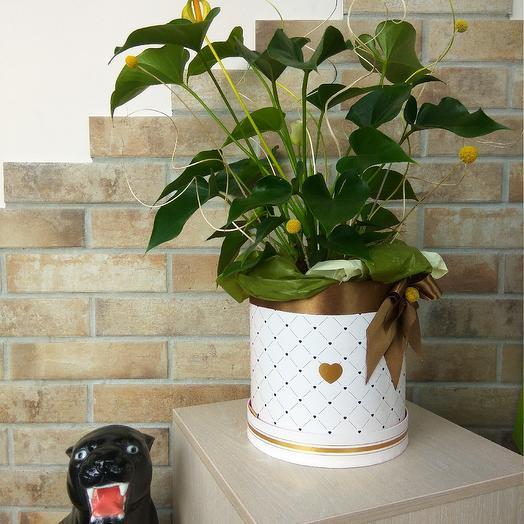 Антуриум в подарочной коробке: букеты цветов на заказ Flowwow
