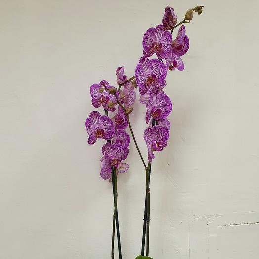 Орхидея Фаленопсис: букеты цветов на заказ Flowwow