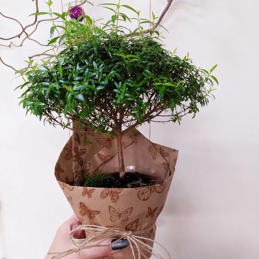 Миртовое дерево в оформлении: букеты цветов на заказ Flowwow