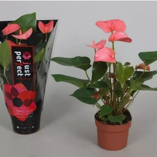Комнатное растение антуриум розовый