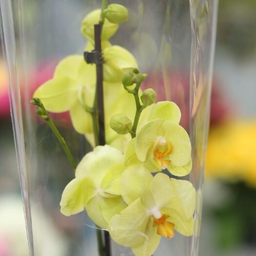 Орхидея-канарейка