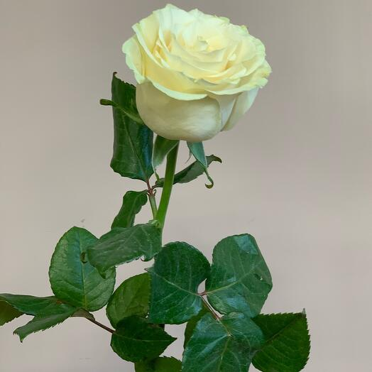 Роза мондиал 60 см