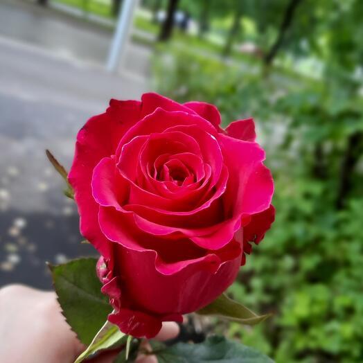 Розы Gotcha Эквадор